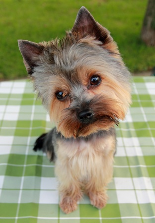 1 year old Yorkshire Terrier in front on ,after cutting the hair Stock Photo