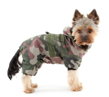 Yorkshire terrier in winter camouflage clothes, isolated on white background.