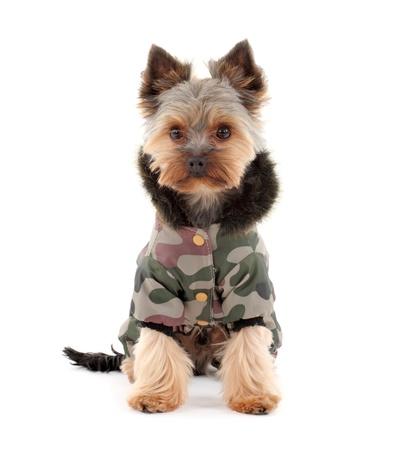 ropa de invierno: Retrato de un terrier yorkshire lindo en ropa de invierno