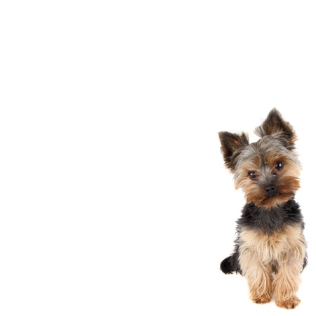 yorke: Yorkshire Terrier in front on white background