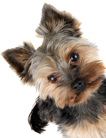 pet grooming: portrait of Yorkshire Terrier in front Stock Photo
