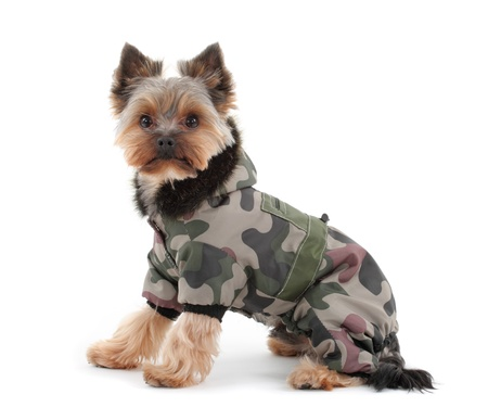 Portrait of a yorkshire terrier with green camo jacket and hood on white background  photo