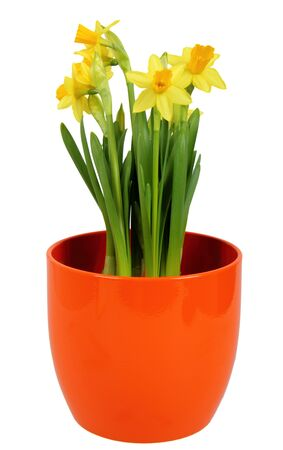 Fresh Daffodils flower in orange flowerpot photo