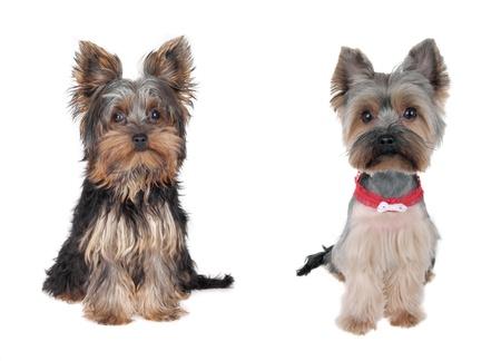 犬歯: ヨークシャー テリア - 前に、と後の髪をカット