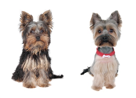 lap dog: Yorkshire Terrier  - Before and after - cutting hair