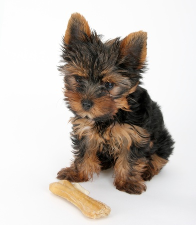 Sweet puppy Yorkshire Terrier in front  photo