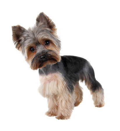 coiffure: Yorkshire Terrier in front over white with cutting hair