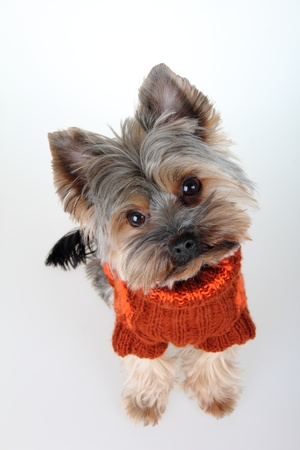 Yorkshire Terrier with suit , in front photo