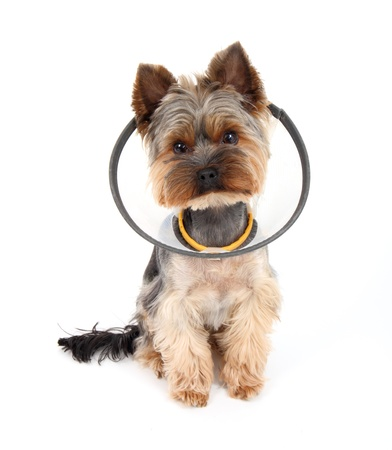 convalesce: Sick  Yorkshire Terrier wearing a funnel   protective  collar, on white background Stock Photo