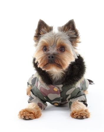 Yorkshire terrier in winter clothes photo