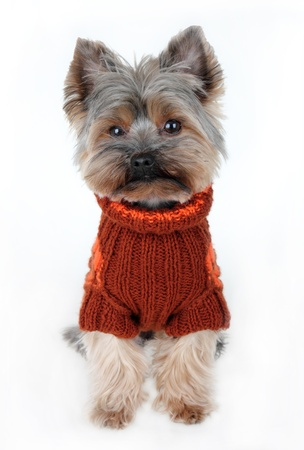 cute yorkshire terrier in winter clothes photo