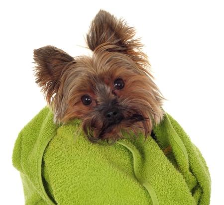 Yorkshire Terrier met groene handdoek, voordat het bad Stockfoto