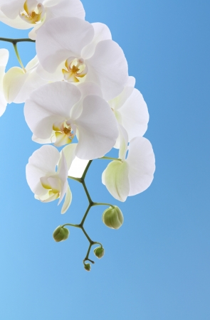 White orchid isolated on blue background  photo