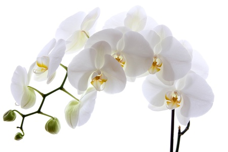 White orchid isolated on white background Archivio Fotografico