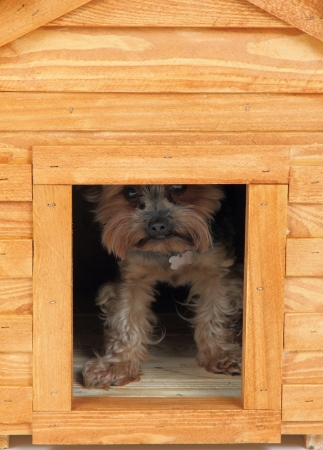 small dog  yorkie  at small wooden house  photo