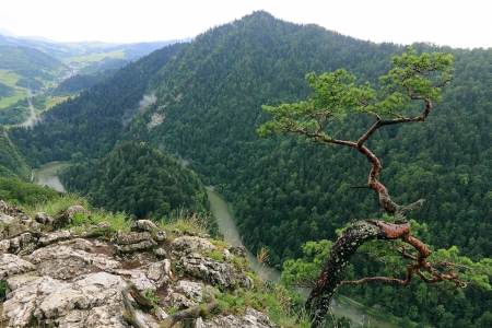 Sokolica,  most famous tree in Pieniny Mountains, Poland photo