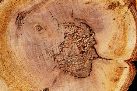 Wood texture of cut tree trunk, close-up photo