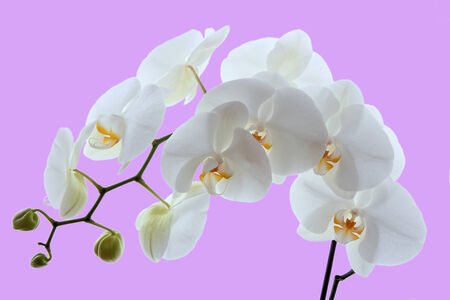 white orchid isolated on pink background photo