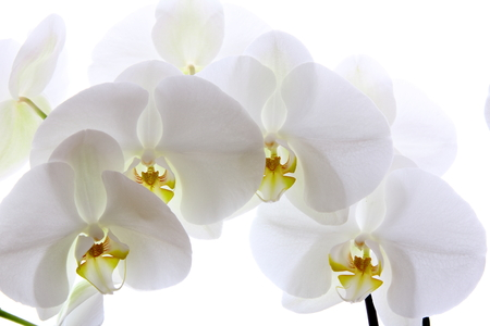 softly: White softly orchid on white background  Stock Photo