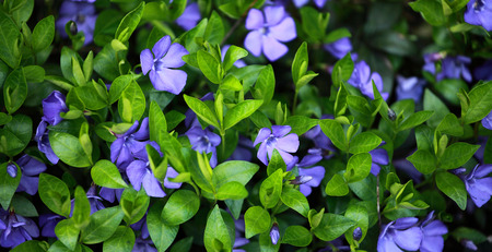 Periwinkle (Vinca minor) plant with flowers
