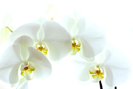 White orchid isolated on white  photo