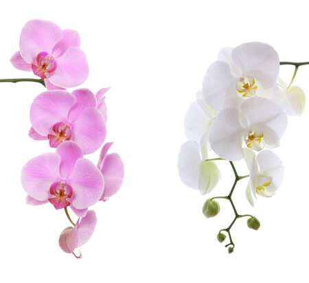 Pink ans white delicate orchid isolated on white  photo