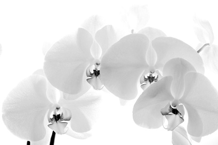 Black  and White orchid isolated on white background photo
