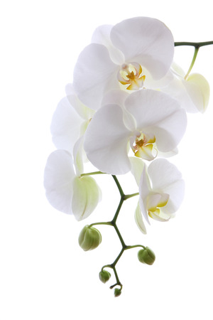 White sensitive orchid isolated on white 스톡 콘텐츠