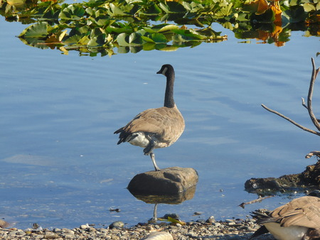 blackman: goose standing on a rock.