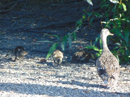 blackman: duck and ducklings at lake shore.