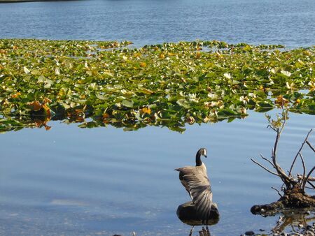 blackman: duck in lake. Stock Photo