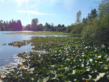 blackman: lily pads at the lake.