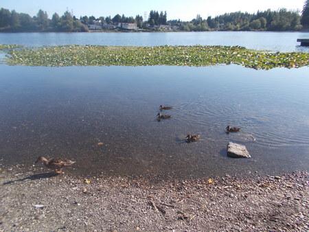 blackman: swimming ducks.
