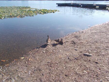 blackman: ducks on the lake shore.