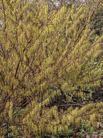 Large Stachyurus Rubriflorus shrub in full flowers in spring Standard-Bild