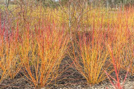 Large mass of Cornus sanguinea Anny's Winter Orange stems in winter border Standard-Bild
