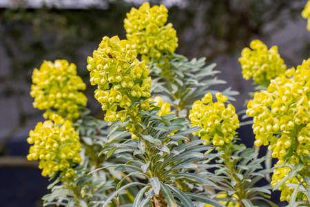 Close up of bright yellow Euphorbia Lambrook Gold Standard-Bild