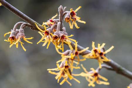 Branch of Hamamelis vernalis Sandra flowers in winter Standard-Bild