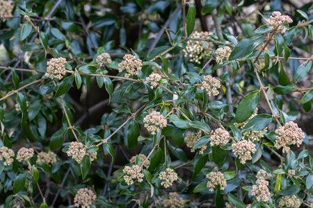 Viburnum utile shrub with spring flowers