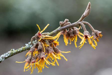 Close up of delicate Hamamelis vernalis Sandra flowers in winter Standard-Bild