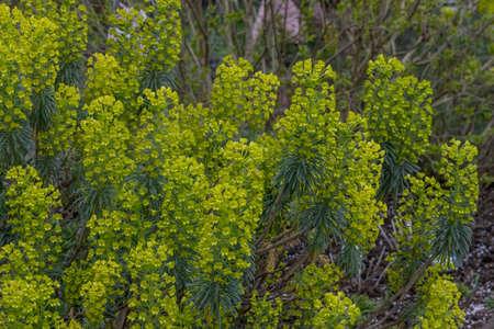 Mass of yellow Euphorbia characias wulfenii flowers in spring
