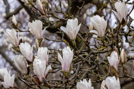 Cluster of Magnolia denudata flowers in spring