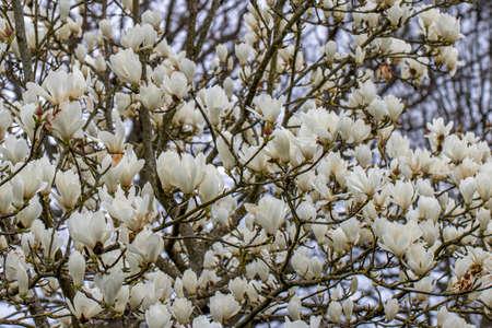 Large Magnolia denudata Giubiasco shrub in full flower in spring