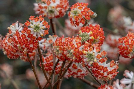 Cluster of pale red or orange  Edgeworthia chrysantha Red Dragon flowers in spring Standard-Bild