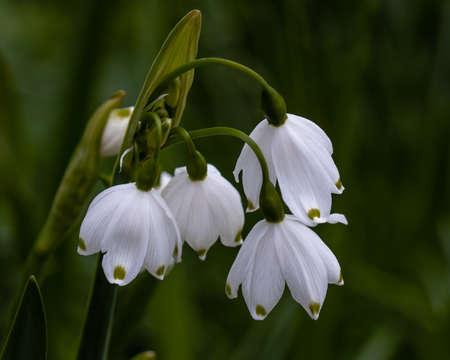Close up of Leucojum aestivum pulchellum flowers in spring Standard-Bild