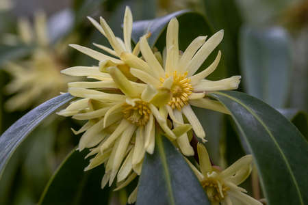 Cluster of rare lemon yellow Illicium simonsii flowers in spring Standard-Bild