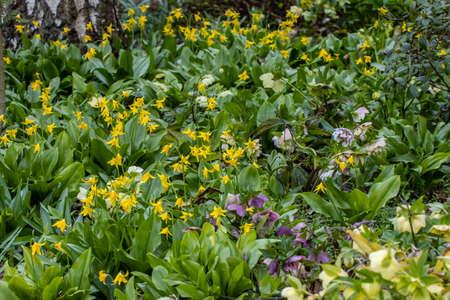 Mass of bright yellow Erythronium tuolumnense flowers in spring Standard-Bild