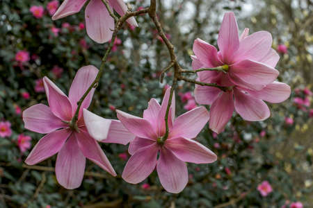 Underside of pink Magnolia Campbellii flowers in spring