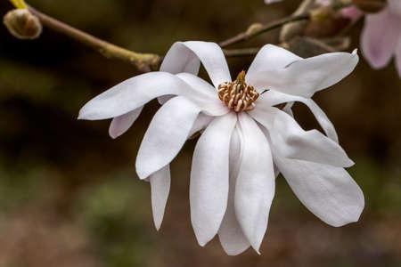 Single close up of Magnolia lobeneri Lesley Jane flower in spring Standard-Bild