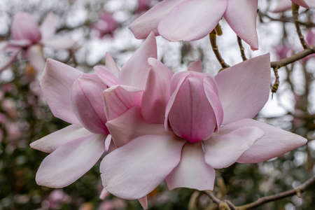 Pair of huge pale pink saucer shaped Magnolia Campbellii flowers in spring Standard-Bild
